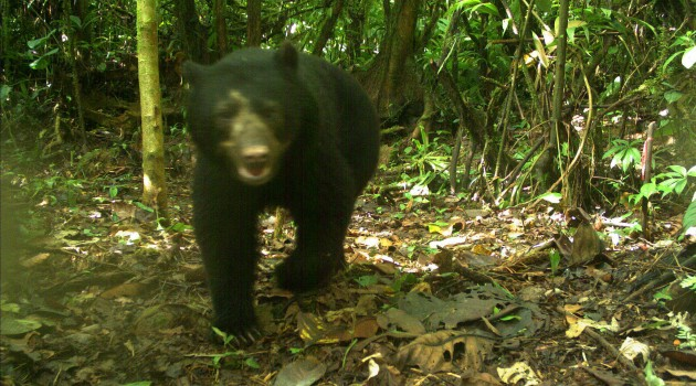 Scientists Find Andean Bears with Camera Traps In Peru