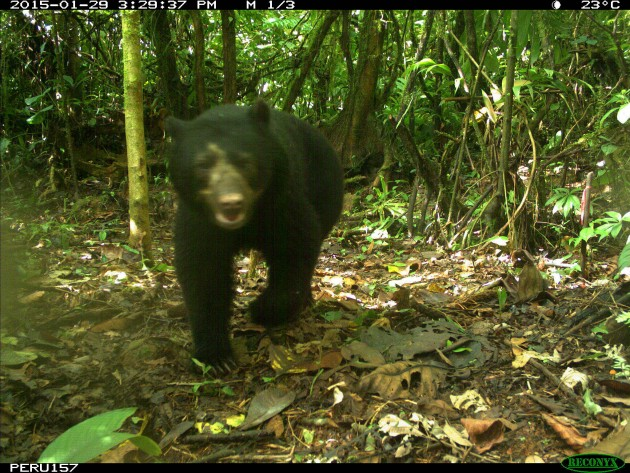 sloth bear Peru