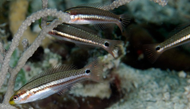"""The critically endangered social wrasse, """"Halichoeres socialis,"""" in reefs around mangrove islands of the Belize inner barrier reef."""