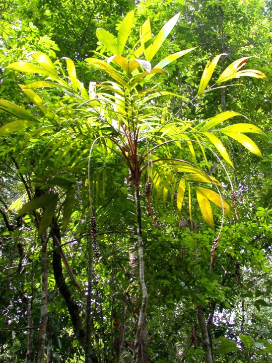 "The palm genus ""Calyptrogyne"" is native to Central America. Eleven of the 17 known species, like ""Calyptrogyne costatifrons"" (shown here), are endemic to Panama. Because many tropical plant species are only found in small, hard-to-reach areas, the total number of plant species in the tropics is still unknown. (Photo by Rolando Perez)"