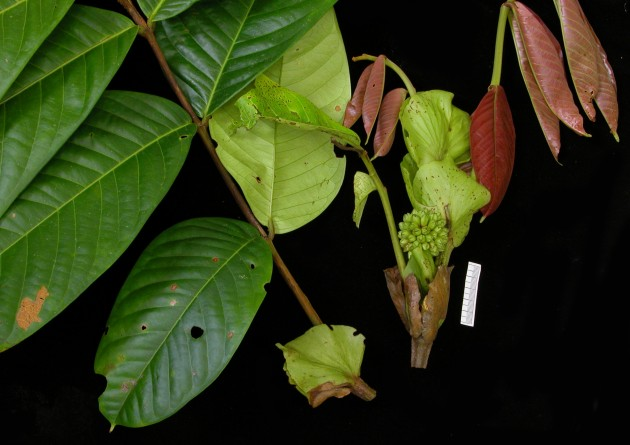 "This plant, ""Inga spiralis,"" in the bean family (Fabaceae), is only found in Panama. Many areas in the tropics have still never been thoroughly explored by botanists. (Photo by Carmen Galdamez)"