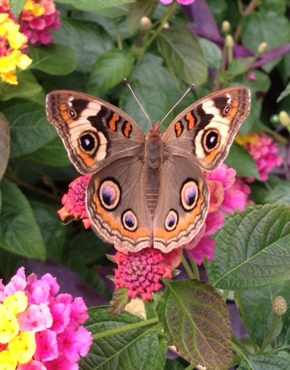 A buckeye butterfly in the Smithsonian's Pollinator Garden. (Flickr photo by Sara Eguren)