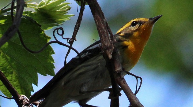Video: Protecting songbirds by Better Understanding their Migratory connectivity