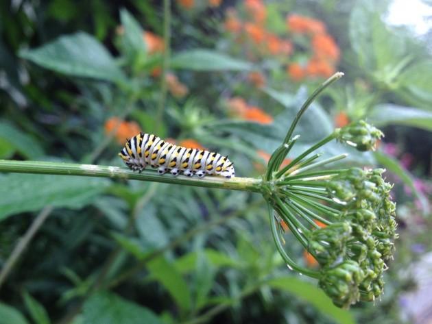 a Black swallowtail caterpillar at the Smithsonian Butterfly Garden (Flickr photo by Sarah Erguren)