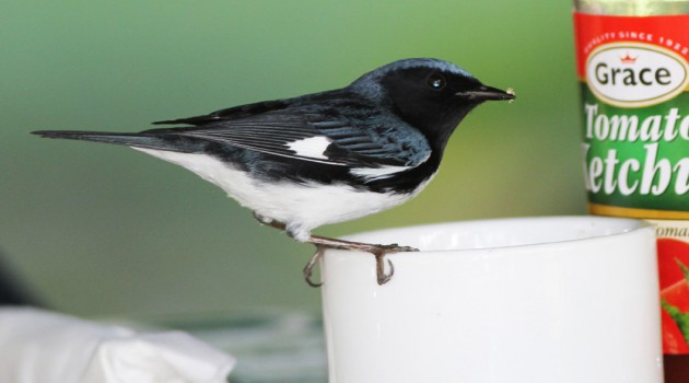 Black-throated Blue Warbler (Setophaga caerulescens) feeding on granulated unrefined sugar. Grains of sugar are adhering to the tip of the warbler's bill (Photograph by Gary R. Graves).