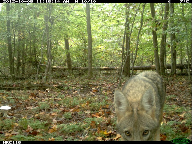 A coyote investigates a camera trap set up in a wooded area. A two-year study looking at occurrences of cats and coyotes in protected areas, urban forests and suburban habitats showed that where coyotes are common, cats are not.