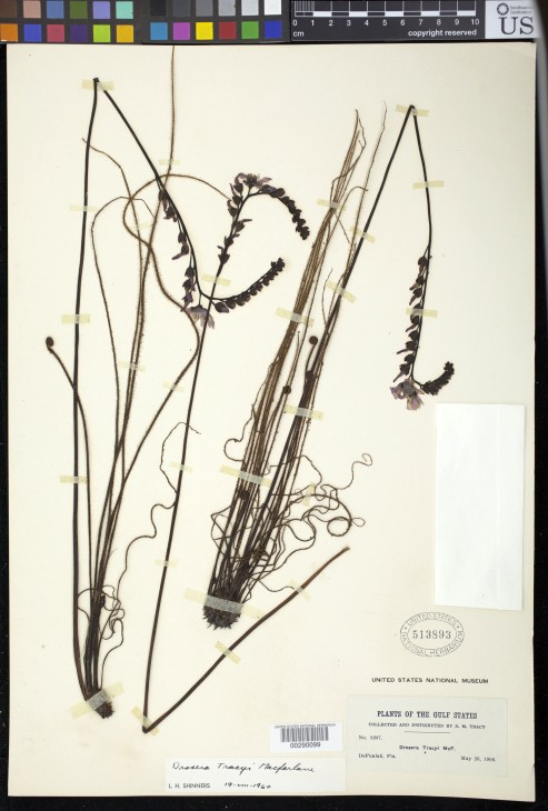 "Tracy's sundew (""Drosera tracyi"") in the collection of the U.S. National Herbarium at the National Museum of Natural History, Smithsonian Institution)"