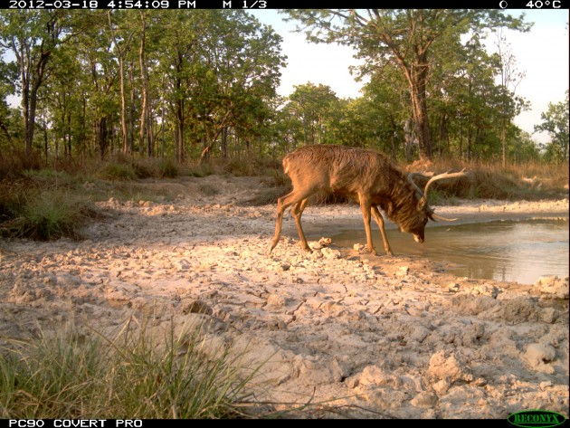 An Eld's deer drinking from a modified waterhole.
