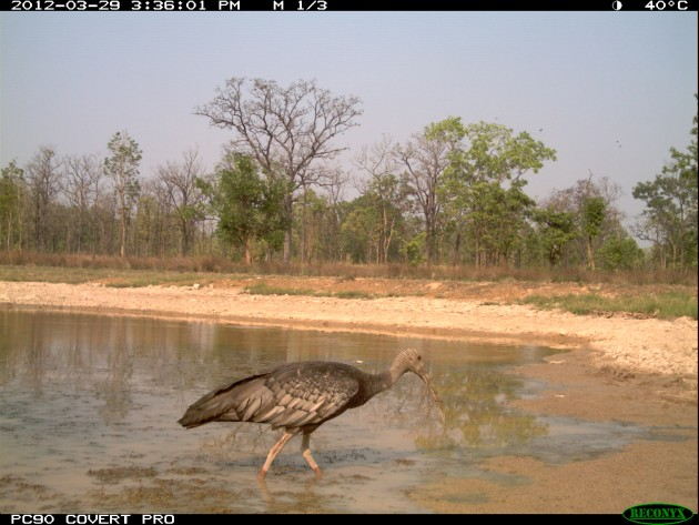 Camera trap image of a giant ibis foraging at a modified waterhole.
