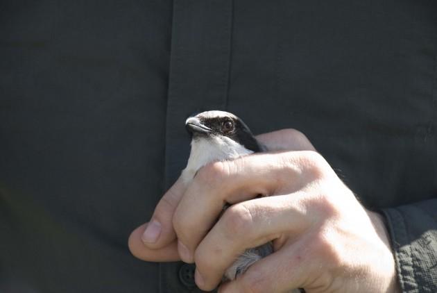 Loggerhead shrikes faces are striking, streaked in black across the eyes. (Photo by Lisa Ware)