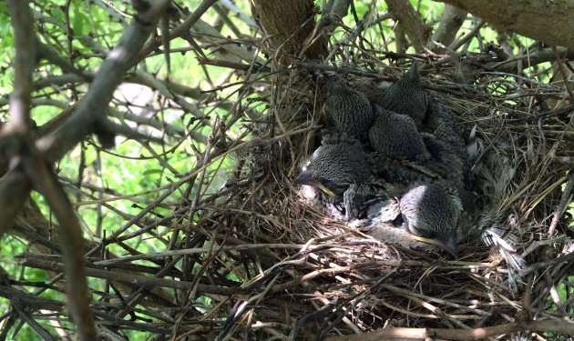 Loggerhead shrike hatchlings huddle in their nest in a dense shrub. (Photo by Lisa Ware)
