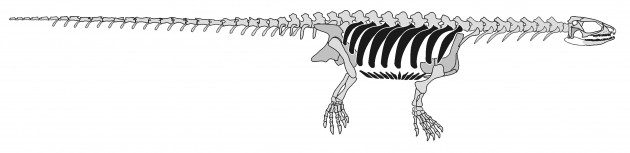 This reconstructed skeleton of Pappochelys features its ribs (in black) and openings in its skull, confirming that turtles did not evolve from early stem-reptiles, as traditionally thought, but are most closely related to lizards among present-day reptiles. In June 2015, an international team of researchers from the United States and Germany discovered this new extinct species of reptile and identified a key missing link in the evolutionary history of turtles. (Image credir: Rainer Schoch, Stuttgart Natural History Museum and Hans Sues, Smithsonian's National Museum of Natural History)