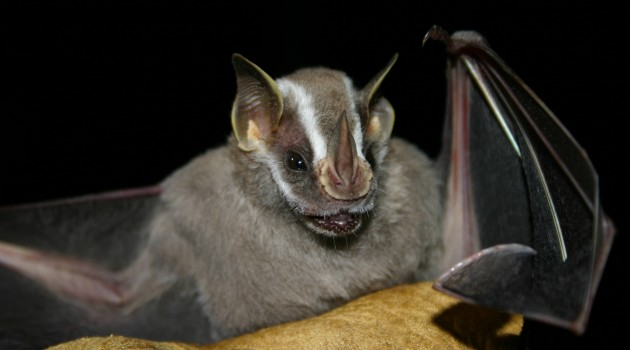 To hunt, bats listen for signals in prey mating calls