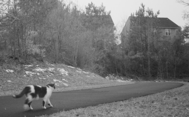 A domestic cat is captured on a camera trap during a two-year study, which surveyed the abundance of cats and coyotes in various habitat types in six states.