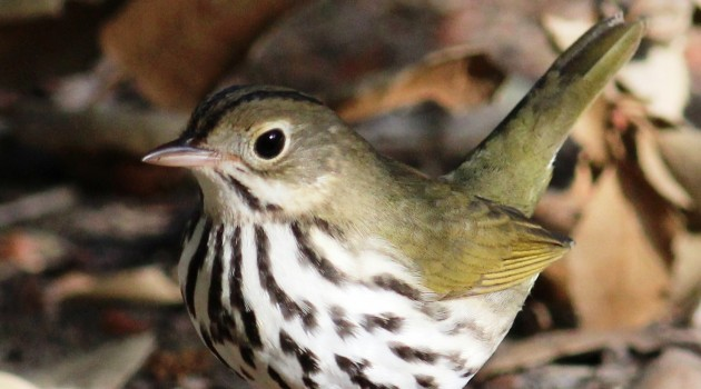 Ovenbird (Flickr photo by Tom Benson)