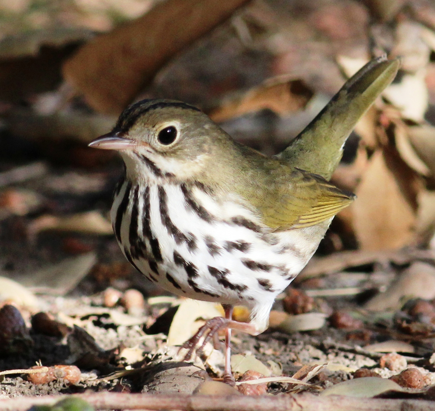 Persuasive Essay Ideas For High School Ovenbird Flickr Photo By Tom Benson High School Argumentative Essay Examples also Thesis Statement For Definition Essay Miniaturized Gps Tags Allow Tracking Of Small Songbirds For First  Thesis Statement Essay