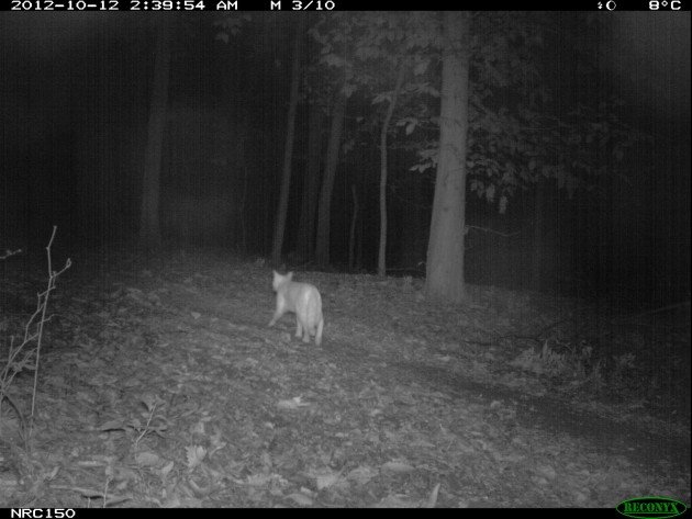 During the two three-month period when camera traps were set up in Rock Creek Park in Washington, D.C., a single cat was detected. Coyotes are relatively common in the park, despite its location in the middle of a city.