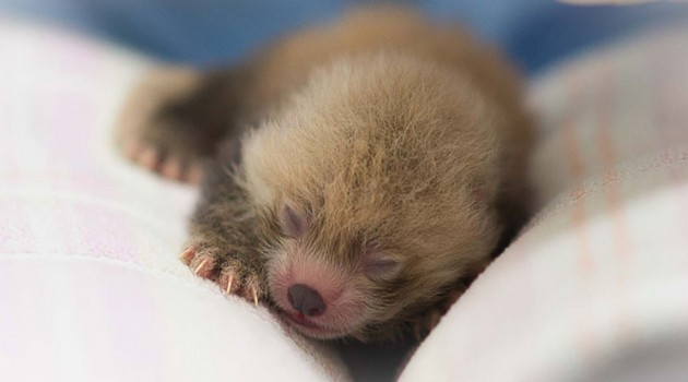 Red Panda Cubs Born at Conservation Biology Institute