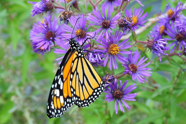 Monarch on a New England aster in South Dakota.  (Photo by Tom Koerner / USFWS)