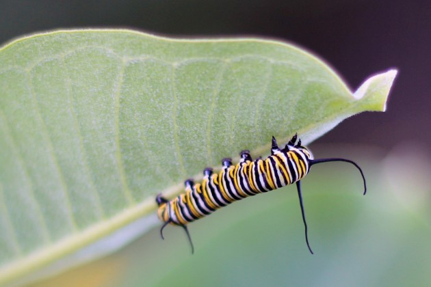 The monarch caterpillars seen in late summer are part of the generation that migrate to Mexico and overwinters there. (Photo by Courtney Celley/USFWS)