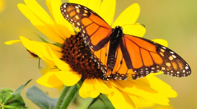 Warming temperatures may mean more monarch generations in some areas of North America