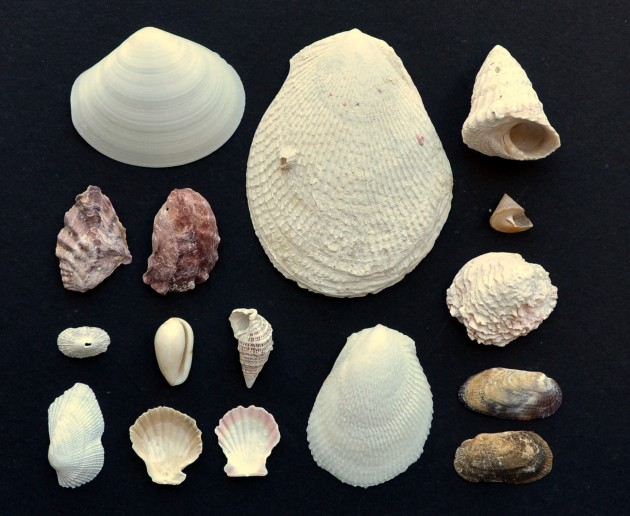 Molluscs collected from Caribbean Panama (Photo by Katie Cramer)