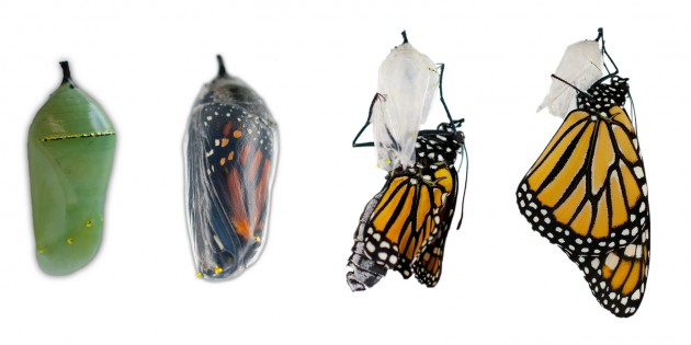 Monarch chrysalis transformation in Idaho  (Photo by Becky O'Neill, U.S. Fish and Wildlife Service)