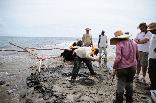 Scientists from the Smithsonian's National Museum of Natural History and the Smithsonian Tropical Research Institute collect the fossils of Isthminia panamensis, a new fossil dolphin, from the Caribbean coast of Panama on 18 June 2011. The fossil was then encased in a white plaster jacket, and recovered as the tide rushed in. (Credit: Jorge Velez-Juarbe/Smithsonian)