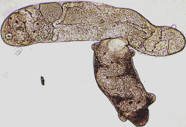 A trematode worm bites and sucks out the insides of an enemy species, with the eyespots of the victim's offspring still visible inside the attacker's gut. At least 20 species of trematode compete to parasitize and castrate marine horn snails (Cerithideopsis species), and such predatory interactions are more frequent in the temperate zone than the tropics. (Photo by Ryan Hechinger)