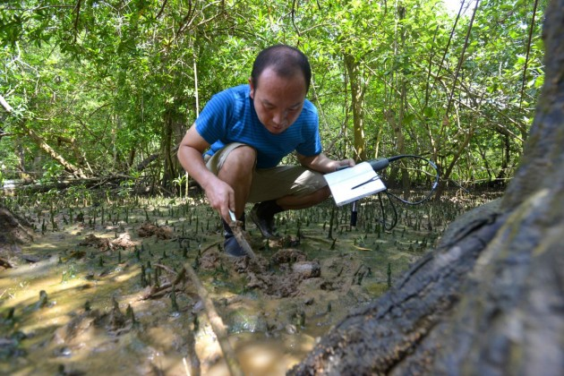 Former Smithsonian postdoctoral fellow Osamu Miura searches for marine horn snails (Cerithideopsis species) in Bique, Panama. The snails are restricted to estuaries, and are widely distributed along the Pacific and Atlantic coasts. Miura and colleagues collected snails in five countries across 27 degrees of latitude, from Central America up into the subtropical United States. (Photo by Sean Mattson, STRI)