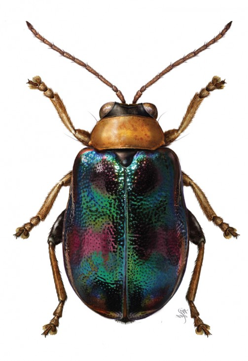 """Licyllus splendidus"" is a beetle from the same genus as ""Burumoseria yuae"" and shares many of its physical features. (Illustration by Mary Metz)"