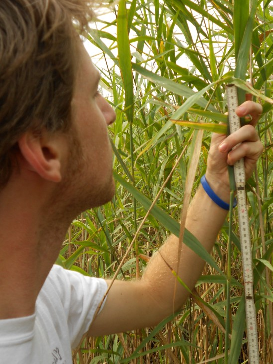 Matt Sievers measures Phragmites. (Photo by Matt Sievers)