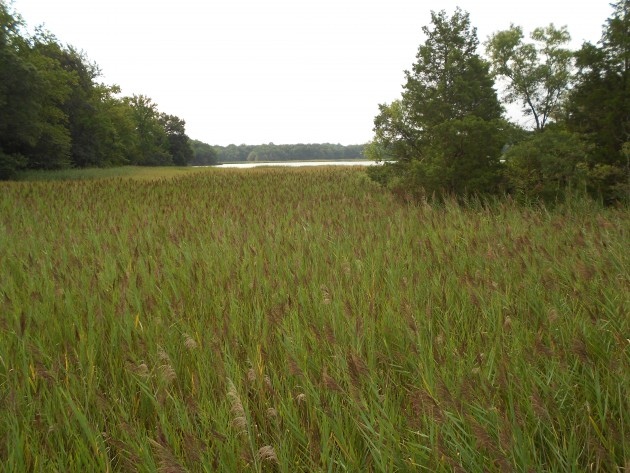 A Phragmites patch in Maryland. (Photo by Matt Sievers)