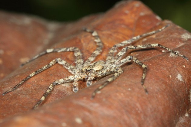 This spider from the genus Selenops is about two inches across and hunts in the tree canopy at night for its prey. (Photo by Stephen Yanoviak, Univ. of Kentucky)