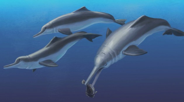 An artistic reconstruction of Isthminia panamensis, a new fossil dolphin from Panama, feeding on a flatfish. Many features of this new species appear similar to today's ocean dolphins, yet the new fossil species is more closely related to the living Amazon River dolphin. The fossils of Isthminia panamensis were collected from marine rocks that date to a time (around 6 million years ago) before the Isthmus of Panama formed and a productive Central American Seaway connected the Atlantic and Pacific oceans. (Credit: Julia Molnar/Smithsonian Institution)