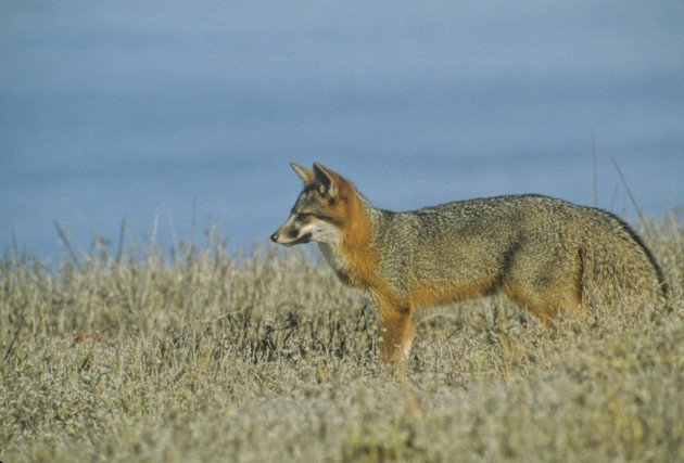 Santa Cruz Island Fox, Santa Cruz Island, Channel Islands, California. (Photo credit: © Dan Richards/National Park Service)