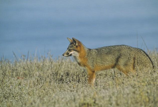 Santa Cruz Island Fox, Santa Cruz Island, Channel Islands, California. (Photo credit: © Dan Richards/National Park Service)