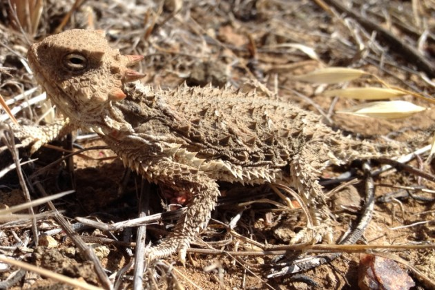 Desert_Horned_Lizard