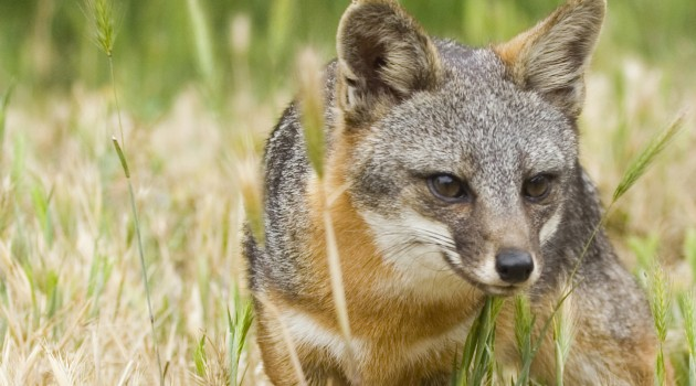 Island Fox on Santa Catalina Island  (Photo courtesy Jack Baldelli/Catalina Island Conservancy)