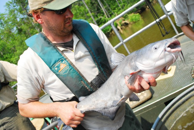 An invasive blue catfish caught in Virginia. (Photo courtesty The Chesapeake Bay Program)