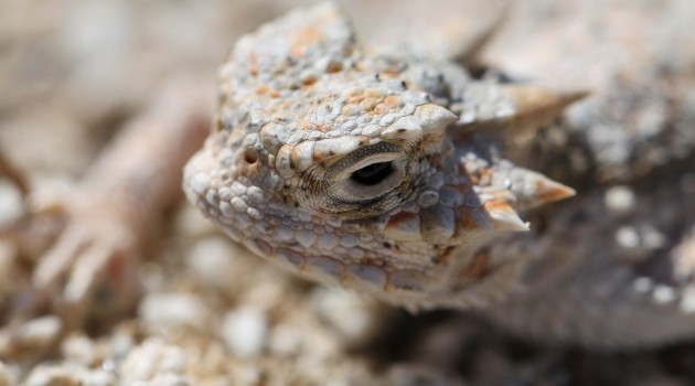 Warming may shrink ancient range of heat loving desert lizard