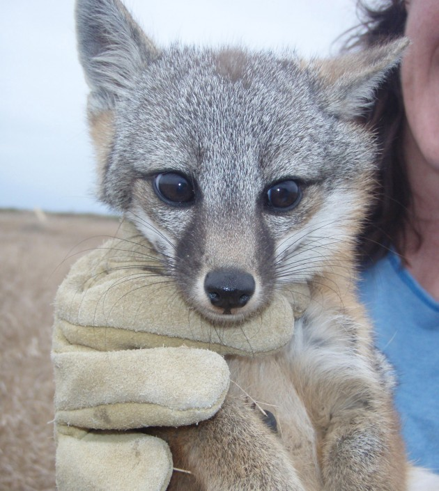 An island fox pup There are 6 subspecies of island fox, each named for the specific Channel Island they inhabit. Four of the subspecies - San Miguel, Santa Barbara, Santa Rosa, and Santa Catalina island fox - were federally listed as endangered in 2004. (Photo Credit USFWS/A. Little)