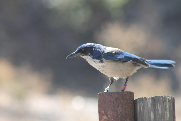 A banded island scrub jay on Santa Cruz island. (Photo by Jon. D. Anderson)