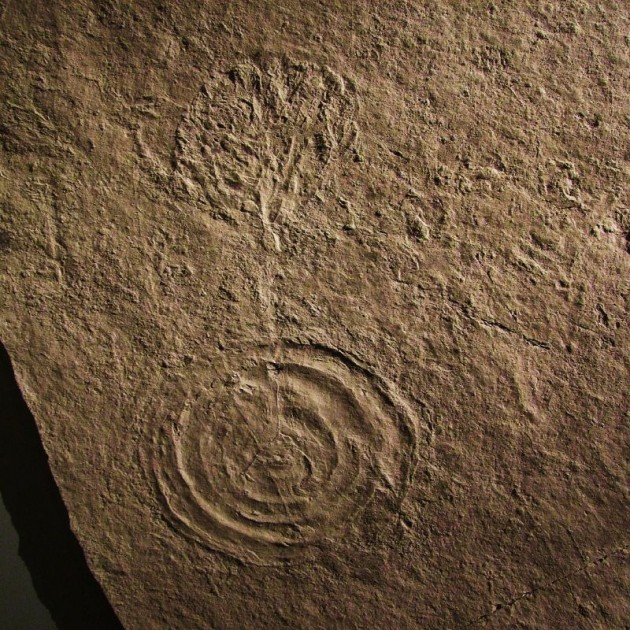An Ediacaran fossil on display in the New Walk Museum in Leicester, England. This fossils shows a plant-like upper portion and a lower circular holdfast, which is thought to have functioned as an anchor to hold the creature in place on the algal mats covering the ancient sea floor. (Photo by Tina Negus/Flickr)