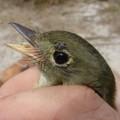 Arcadian flycatcher