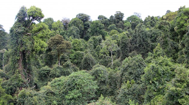 Typical uneven and billowing canopy of a sub tropical rainforest. Dorrigo National Park, New South Wales, Australia. Vines covering the tree tops are prominent in this photo. (Flickr photo by Pete the Poet)