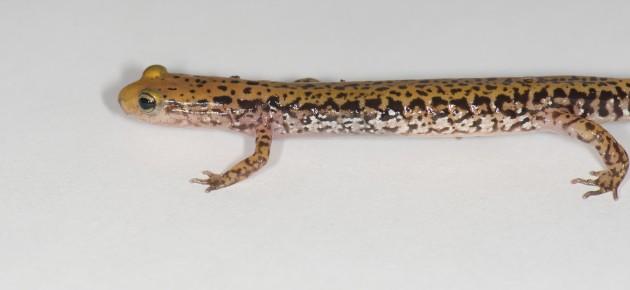 A long-tailed salamander (Photo by Annalisa Meyer)