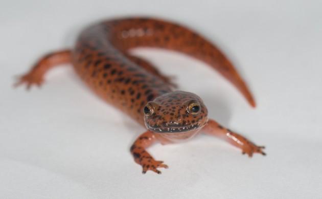 A red salamander (Photo by Annalisa Meyer)