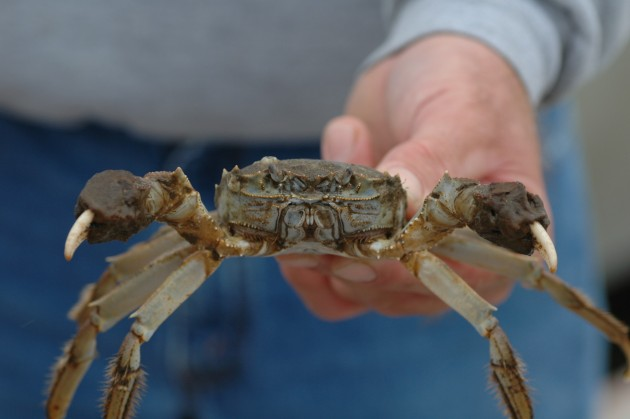 Chinese Mitten Crab (SERC photo)