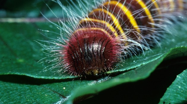 The bright stripes and bristles of this skipper butterfly caterpillar, Pyrrhopyge thericles warn predators that it packs a toxic punch, thanks to an exclusive diet of toxic plants of the genus Vismia. (Photo courtesy Raudsepp-Hearne, et al / Smithsonian Tropical research Institute)